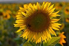 Maya (pascual 53) Tags: giraroles navarra abeja canon 7d 70200mm puesta de sol murchante verano flores pipas