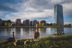 who is worried about monetary policy? (kleptografy) Tags: europe spring bird birds bywater canoe cityscape deutschland evening frankfurt frankfurtammain germany goose governmentstructure hessen industrialstructure kayak residentialstructure river riverboat rowboat rowing season tree urban hesse