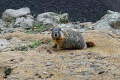 Marmot - Palouse Falls State Park, WA (SomePhotosTakenByMe) Tags: animal tier marmot murmeltier palousefalls palousefallsstatepark statepark washington usa america amerika unitedstates outdoor palouse explored inexplore