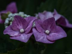 Hydrangea by night (Meinersmann, Thomas) Tags: juli2019 macrozuiko60mm128 makro omdem5ii olympus thomasmeinersmann macrounlimited hydrangea blüten hortensie