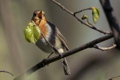 Robin (madziulka_a) Tags: robin nikon d850 200500mm poland nature wildlife bird rudzik