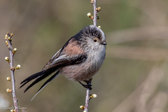 Long Tailed Tit (Linda Martin Photography) Tags: dorset longtailedtit wildlife aegithaloscaudatus nature bird longhamlakes uk animal coth naturethroughthelens ngc coth5 npc alittlebeauty specanimal