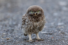 What you looking at? (irelaia) Tags: little owl owlet wild bird marching stare close encounter