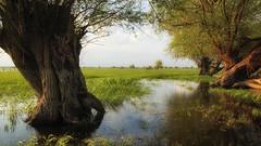 *** (pszcz9) Tags: przyroda nature natura naturaleza pejzaż landscape drzewo tree woda water wiosna spring wierzba willow beautifulearth sony a77 łąka meadow