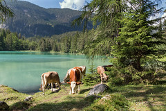 happy cow (markus364) Tags: kühe cow wasser water lake see bergsee mountainlake tirol tyrol österreich austria alpen alps tier animal outside drausen outdoor natur landscape landschaft