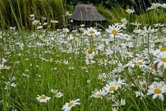 Summer Daisies, Kingston Lacy. (margaretgeatches) Tags: summer meadow green yellow white oxeyedaisy leucanthemumvulgare wildflower nationaltrustproperty kingstonlacy wimborneminster dorset