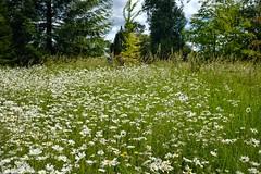 Daisy Field, Kingston Lacy. (margaretgeatches) Tags: summer white green yellow meadow dorset kingstonlacy nationaltrustproperty oxeyedaisy leucanthemumvulgare wimborneminster trees