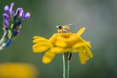 Hoverfly (UpuautX) Tags: sony a7iii 90mm macro makro hoverfly schwebfliege bokeh summer sommer insekte insect switzerland schweiz