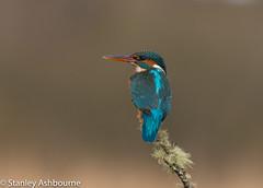 Kingfisher (stanley.ashbourne) Tags: bird kingfisher stanashbourne nature wildlife stanashbournephotography