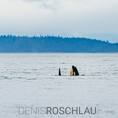 Spyhopping Bigg´s Orca calf #explored (Denis Roschlau Photography) Tags: orca orcinusorca killerwhale killerwal schwertwal marine mammal dolphin spyhop spyhopping ocean salishsea britishcolumbia victoria vancouverisland canada vancouver wildlife pacific animalbehaviour nature whalewatching fin rainy calf young transient