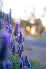 Lavender (Indigo Skies Photography) Tags: industar50250mmf35 fujifilmxt2 industar bokeh flower colour light dof vintage garden street lavender fujifilm zenit russian russianlens