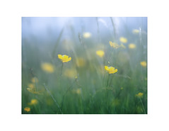 Dale Bloom (gerainte1) Tags: yorkshiredales yorkshire dales colour flowers spring buttercups yellow green