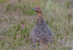 DSC3707  Red Grouse... (Jeff Lack Wildlife&Nature) Tags: redgrouse grouse grasslands gamebirds birds bird avian animal animals wildlife wildbirds wildlifephotography jefflackphotography heathland heathlands heaths moorland moors heather countryside yorkshire nature