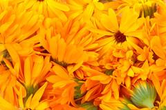 Gepflückt... (Harald Schnitzler) Tags: ernte naturheilkunde naturheilmittel calendula ringelblume naturalremedy orange flower blossom harvest picked gather sammeln fullframe harvesting ernten vollformat macro