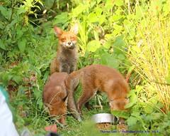 Meet My Family.........:o) (law_keven) Tags: fox foxes urbanredfox catford london uk wildlife wildlifephotography photography redfox animals animalphotography foxcub foxcubs family