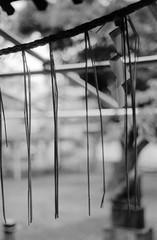 あまだれ (raindrops) (Dinasty_Oomae) Tags: leicaiiia leica ライカiiia ライカ 白黒写真 白黒 monochrome blackandwhite blackwhite bw outdoor 千葉県 千葉 市川市 市川 chiba ichikawa 神社 shrine 胡録神社 korokushrine 注連縄 しめなわ shimenawa
