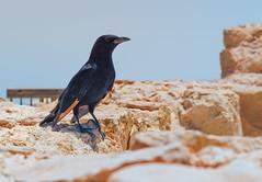 Tristram's Starling (Ray in Manila) Tags: israel deadsea nature rock fauna feathers fortress bird desert beak plumage judean ef50mm onychognathustristramii eos650d reverendhenrybakertristram onychognathus
