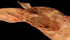 Cricket Nymph (Gryllidae) (John Horstman (itchydogimages, SINOBUG)) Tags: insect macro china yunnan itchydogimages sinobug entomology canon cricket nymph orthoptera gryllidae brown crypsis camouflage black