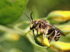 Macropis europea (m) (Stefan Verheyen) Tags: bee insect solitary macro belgium