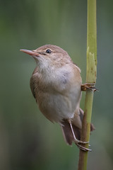 Reed Warbler... (Allan James Fisher) Tags: reed warbler bird nature nikon green beautiful wildlife