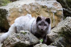 Arctic fox (Cloudtail the Snow Leopard) Tags: polarfuchs tier animalsäugetier mammal animal säugetier fuchs eisfuchs vulpes lagopus alopex arctic white polar snow fox wildpark wildtierpark bad mergentheim