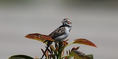 EOS-1D X0763 View large. Lark Sparrow. Came back for a second day. Taken in my backyard. Corona California (E.W. Smit Wildlife.) Tags: gitzo gitzotripod g1325mk2 gitzog1325mk2 gitzog1325mk2tripod wimberley wimberleygimbalheadwh200 wimberleygimbalhead wimberleywh200 gimbalhead ef500mmf4lisii ef500mmf4lisiiusm canonef500mmf4lisiiusm wildanimals tourist tourists telephotolens tripod unitedstatesofamerica usa outdoors outdoor supertelephotolens bird birds animal avian animals wildanimal inlandempire coronacalifornia california canon nature wildlife corona coronariversidecounty canoneos1dx 1dx canon1dx canonef500mmf4lisii canonef2xextenderiii canonef2xiii eos1dx canonef500mmf4lisiiusm2xiii canonef500mmf4lisii2xiii ef500mmf4lisii2xiii ef500mmf4lisiiusm2xiii sparrow larksparrow 2xiii avocadotrees