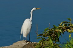 Great Egret (Ardea alba) Ready For Take Off (Jeannot7) Tags: greategret