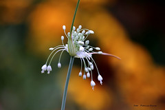 Allium in my garden (Patricia Buddelflink) Tags: flower allium garden nature