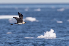 ᐃᓱᙵᕐᓗᒃ | Isunngarluk | Stercorarius pomarinus | Pomarine Jaeger (Paul B Jones) Tags: floeedge ᐃᓱᙵᕐᓗᒃ isunngarluk stercorariuspomarinus pomarinejaeger bylotisland packice pondinlet nunavut arctic canada bird nature wildlife canoneos1dxmarkii ef600mmf4lisiiiusm 14xiii