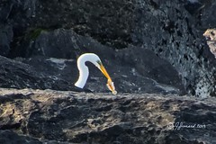 Great Egret (Ardea alba) With Lunch (Jeannot7) Tags: greategret