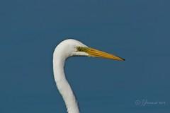 Great Egret:Grande Aigrette (Ardea alba) Head Shot (Jeannot7) Tags: greategret