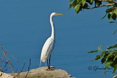 Great Egret/Grande Aigrette (Ardea alba) (Jeannot7) Tags: greategret grandeaigrette ardeaalba cobourg ontario harbour lakeontario bird birdwatcher