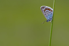 Silver-Studded Blue (Plebejus argus) (Photography by Matt Latham) Tags: 7dmarkii canon insect mattlatham nottinghamshire photography plebejusargus unitedkingdom worksop blues butterfly lepidoptera macro nature naturephotography silverstuddedblue spring wildlife wildlifephotography