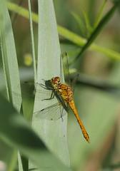 Common darter (yvonnepay615) Tags: panasonic lumix gh4 nature insect commondarter rspb stumpshawfen norfolk eastanglia uk