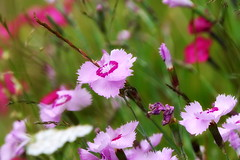 Pinks (eric robb niven) Tags: ericrobbniven scotland pinks dianthus wildflower nature springwatch