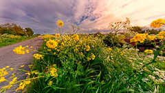 Converging (Alfred Grupstra) Tags: nature flower yellow summer plant outdoors ruralscene landscape sky beautyinnature springtime blue scenics blossom sunflower meadow greencolor nopeople field wildflower