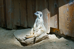 Suricata suricatta - Erdmännchen (PictureBotanica) Tags: tiere säugetiere erdmännchen suricata tierpark essehof