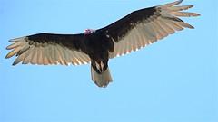 Black Vulture (3) (only1malcolmfisher) Tags: black vultures menace eyes