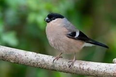 Bullfinch-320 (davidgardiner8) Tags: birds garden finches eastsussex bullfinch