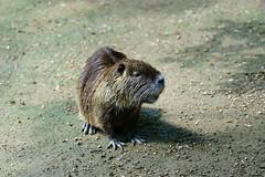 Myocastor coypus - Nutria (PictureBotanica) Tags: tiere säugetiere nutria tierpark essehof