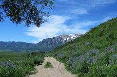Lupine Lined (Patricia Henschen) Tags: crestedbuttecolorado brushcreek gunnisonnationalforest flowers flower wildflower wildflowers colorado crestedbutte mountain mountains pathscaminhos trail aspen cloud range clouds lupine fabaceae lupinus