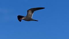 Inca Tern (Larosterna inca) (Kremlken) Tags: larosternainca pelagic oceans pacific humboldt current seabirds birds birding birdwatching nikon500 nature chilean sea