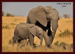 FEMALE AFRICAN ELEPHANT WITH CALF (Loxodonta africana)....MASAI MARA....SEPT 2016 (M Z Malik) Tags: nikon d3x 200400mm14afs kenya africa safari wildlife masaimara keekoroklodge exoticafricanwildlife elephants ngc npc
