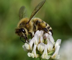 _DSC5784T. Honybee on Clover (laurie.mccarty) Tags: macro honeybee bee nature bokeh insect clover tamron90mmf28