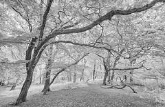 HORSENDEN HILL 21 (Nigel Bewley) Tags: horsendenhill ealing greenford perivale london england uk unlimitedphotos nigelbewley photologo july july2019 canonef1635mmf28liiusm canon5dmkii 830nm infrared digitalinfrared advancedcameraservices blackandwhite blackwhite creativephotography artphotography amateurphotographer appicoftheweek woods trees horsendenwood