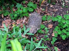Hedgehog (Nevrimski) Tags: