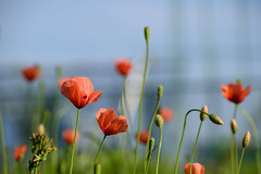 Red and green on blue (Abhay Parvate) Tags: colors flowers red green blue nature macro bokeh