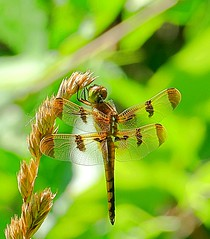 Beautiful Summer Nature.....Just Wing It (Eat With Your Eyez) Tags: painted skimmer libellula semifasciata dragonfly insect bug wing wings eye eyes fly flying perch perched grass weeds park nature outdoors summer north canton ohio stark county beautiful