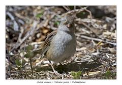 Volcano junco (Jan H. Boer, Nature photographer) Tags: juncovulcani volcanojunco vulkaanjunco birds nature portrait wildlife costarica paramo highlands nikon d500 afsnikkor200500f56eedvr jan´sphotostream2019