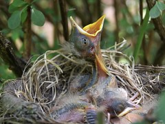 I'm Hungry (Diane Marshman) Tags: americanrobin robin baby young babies nest barberry bush shrub branches leaves summer pa pennsylvania nature wildlife bird birds immature mouth open